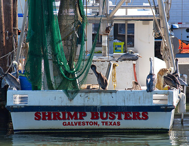Shrimp Busters with Pelicans