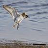 Landing sanderling