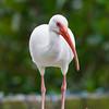 Festive white ibis