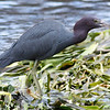 Little blue heron with very little snack