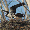 Osprey pair at nest