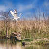 Graceful Great Egret