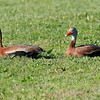 Pair of black-bellied whistling ducks chilling on someone's lawn