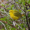 A very yellow warbler