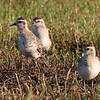American golden-plovers