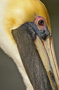 Close up of a brown pelican.