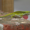 Green anole explaining his evolutionary fitness