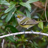 White-eyed vireo living up to its name