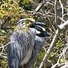 Pair of yellow-crowned night herons presiding over a nest at Wakulla Springs
