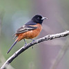 Orchard oriole at St. Marks