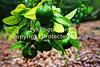 GulfCoast004-Green Satsumas