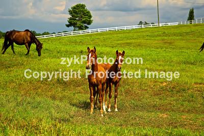 GulfCoast016-Foals