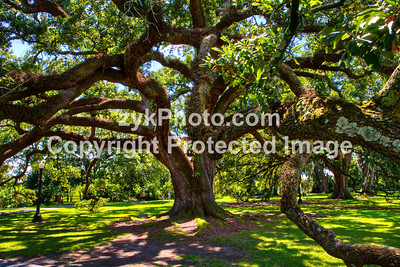 GulfCoast010-Old Oak Tree