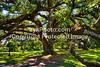 GulfCoast010-Old Oak Tree