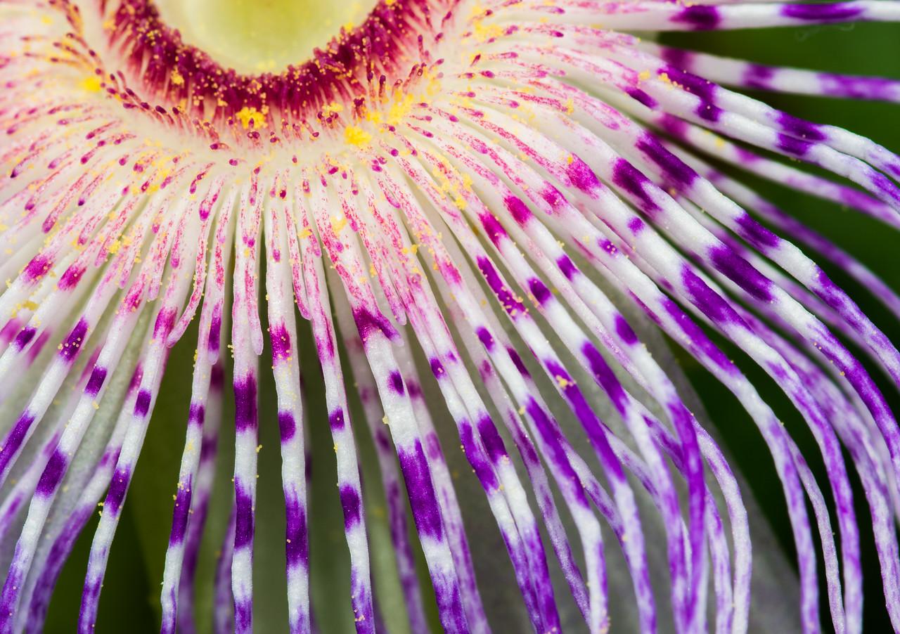 Maypop (Passiflora incarnata)