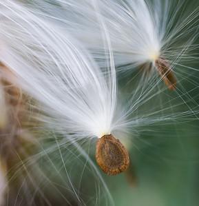 Sandhill milkweed (Asclepias humistata) seeds