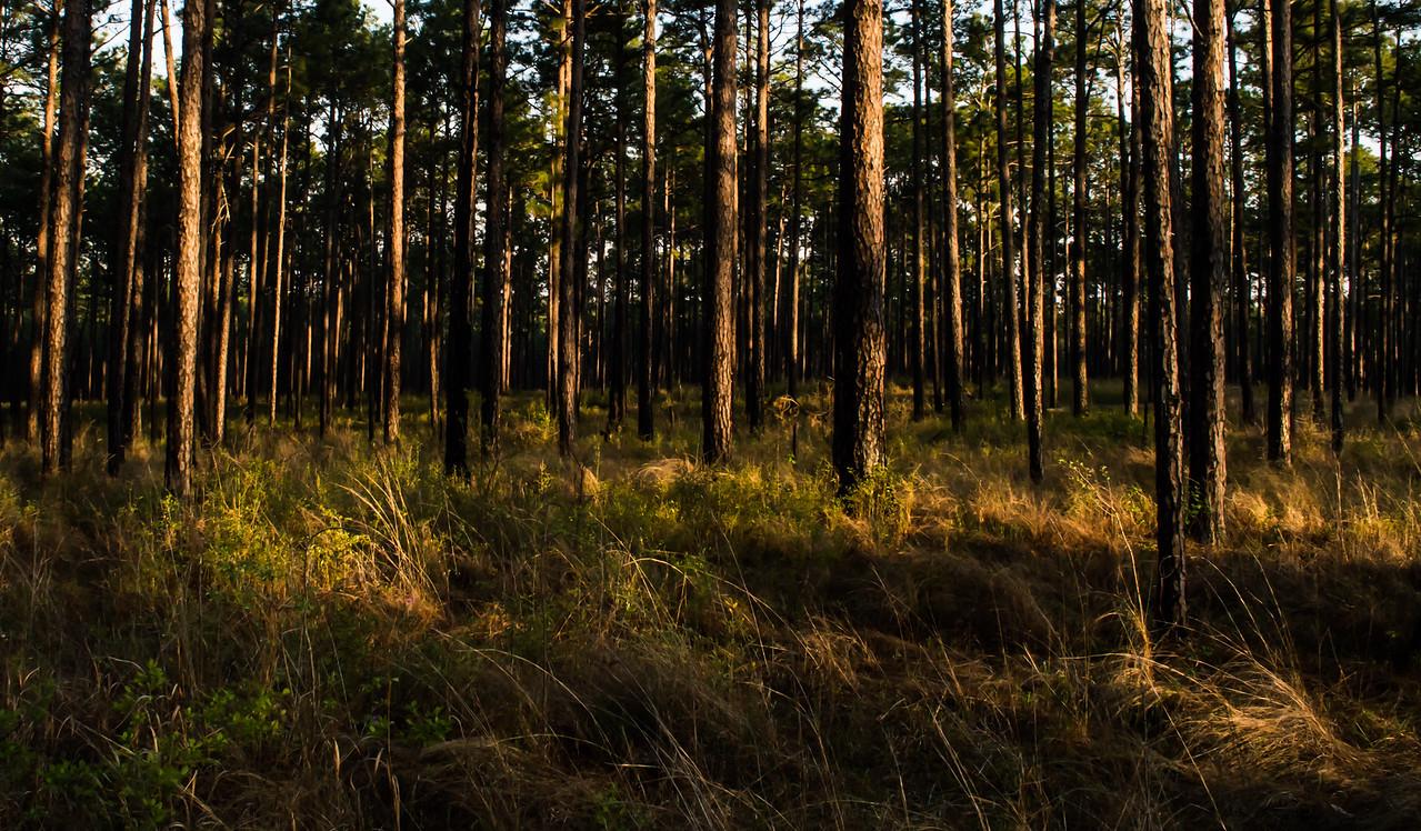 Longleaf pine savanna at sunset