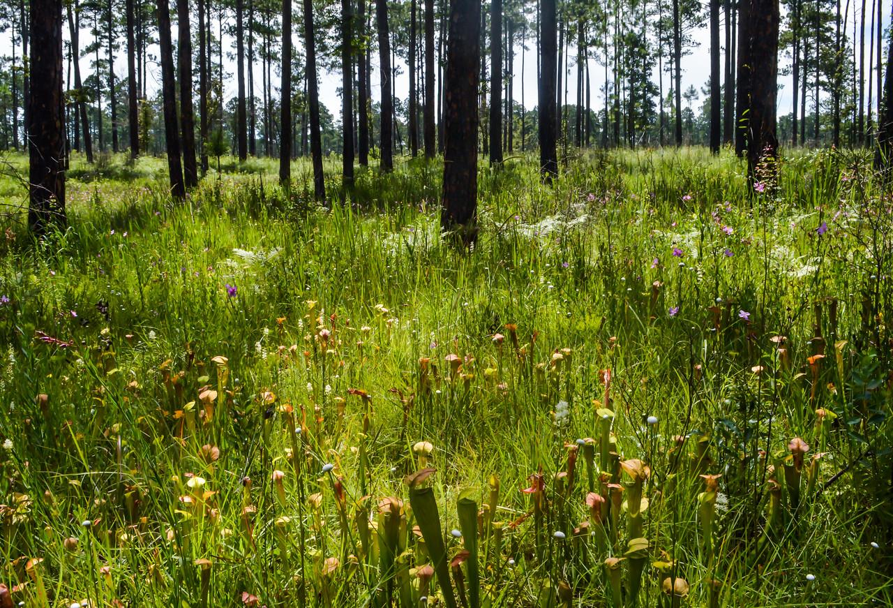 Pitcher plant bog, DeSoto National Forest
