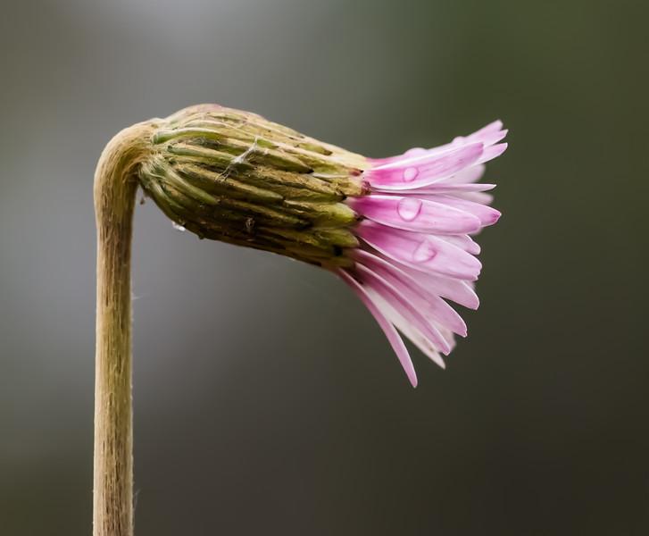 Pineland daisy; wooly sunbonnets (Chaptalia tomentosa)