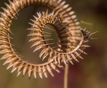 Toothace grass (Ctenium aromaticum)