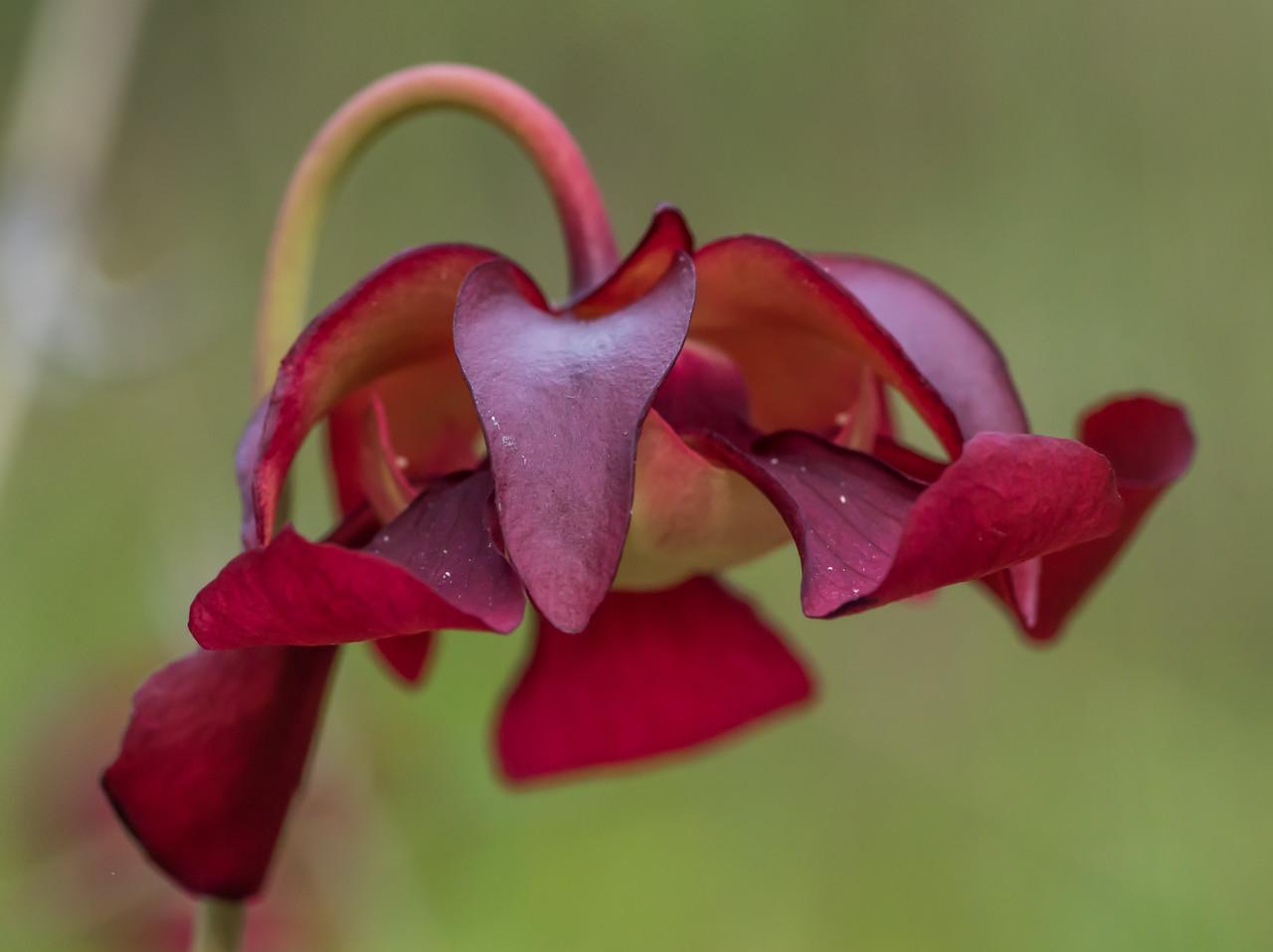 flower of Sarracenia psittacina