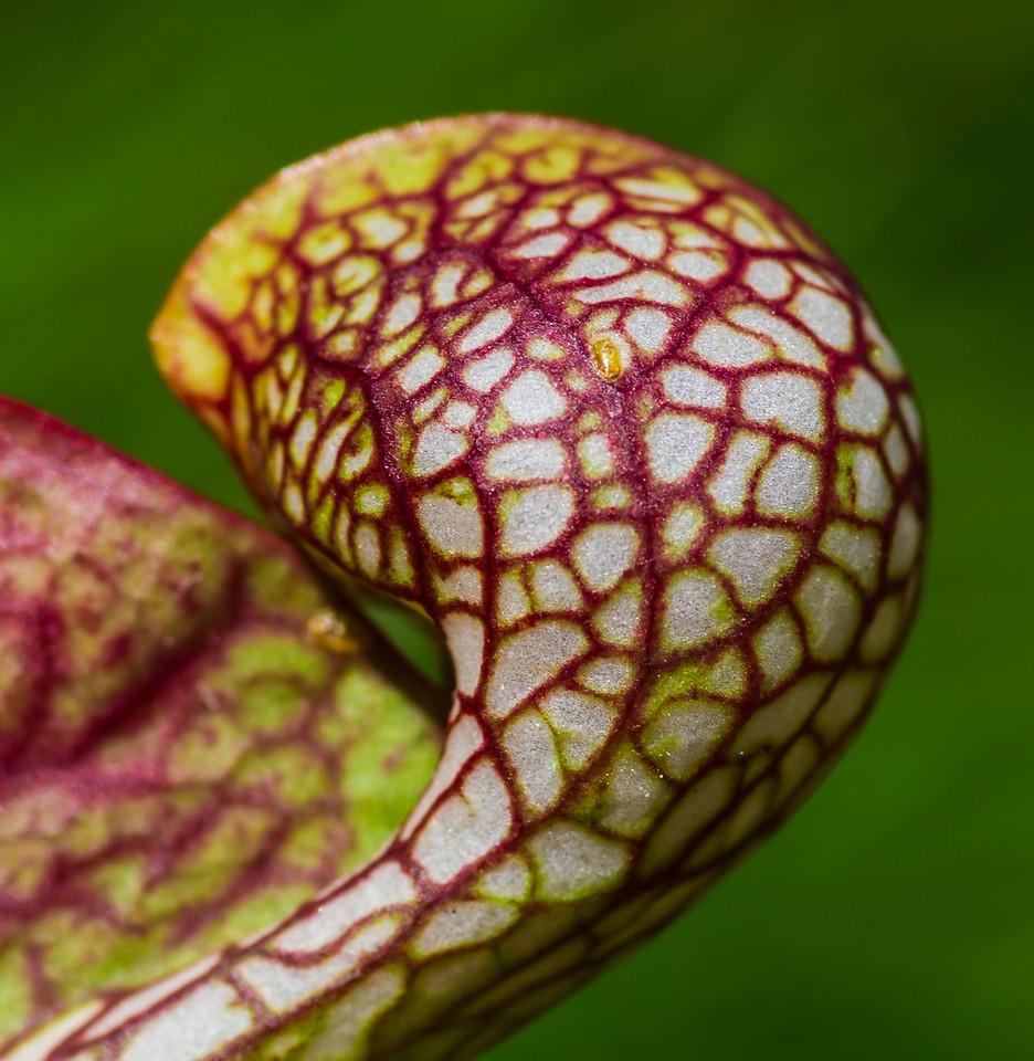 Parrot pitcher plant  (Sarracenia psittacina)