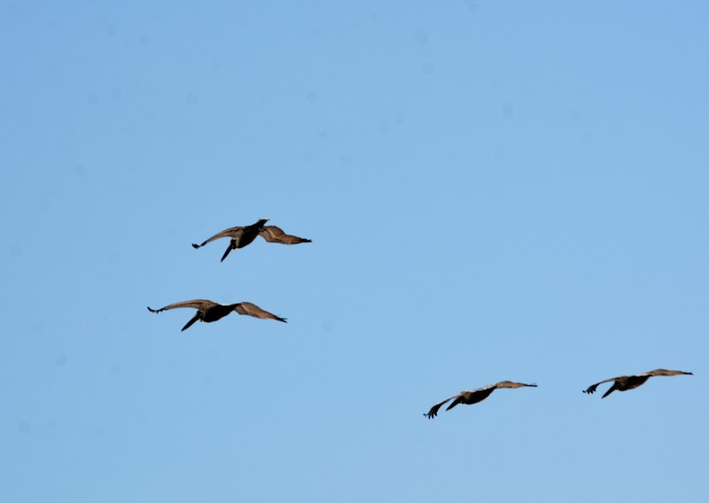 And here are the birds inflight I took from the pier.