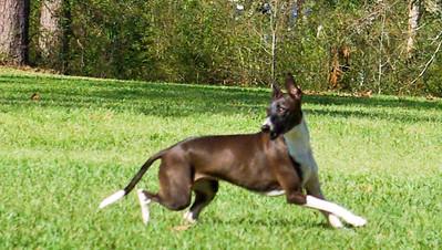 Coursing Italian Greyhounds
