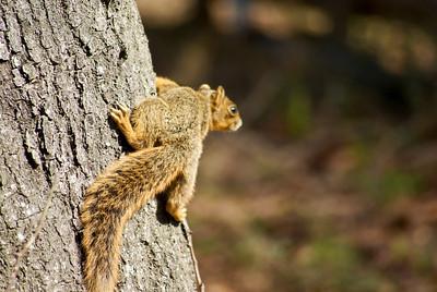 our fox squirrels