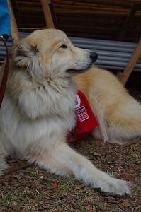 Wolf X Gr. Pyranees service dog