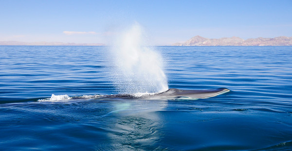 Surfacing Fin Whale