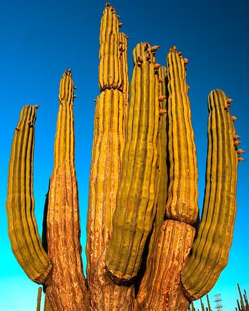 An enourmous cardon cactus