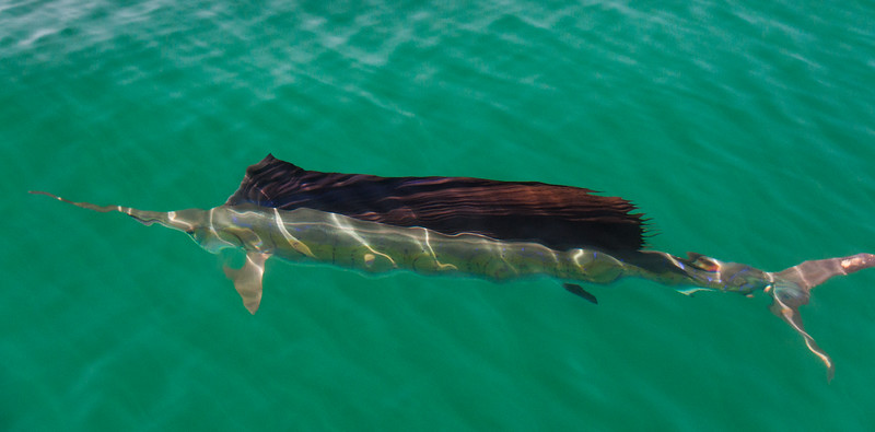 A sailfish at the surface of the Gulf of California