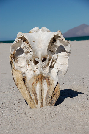 A cetacean skull on a remote island in the gulf