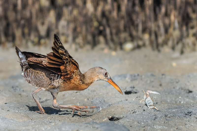 In an estuary on the Sonoran coast, these normally secretive marsh birds can be seen stalking their prey in daylight.  This Clapper Rail (Rallus longirostris) eventually captured the small fiddler crab.