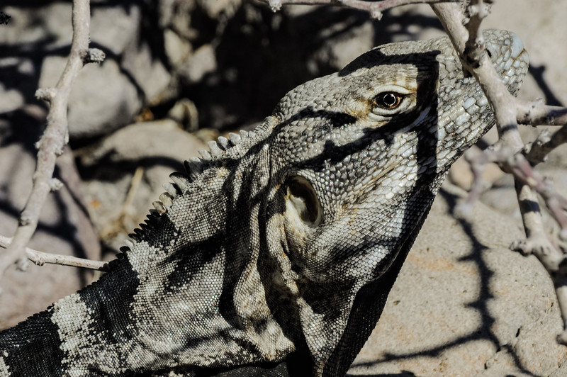 A well camouflaged Spiny-tailed Iguana (Ctenosaura similis) peers out from under a shrub on Isla San Esteban, an island in the Gulf of California, Mexico.