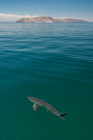 A shark slowly swimming just below the surface of the Gulf of California, Mexico, which is a region that has experienced dramatic declines in shark populations due to overfishing.