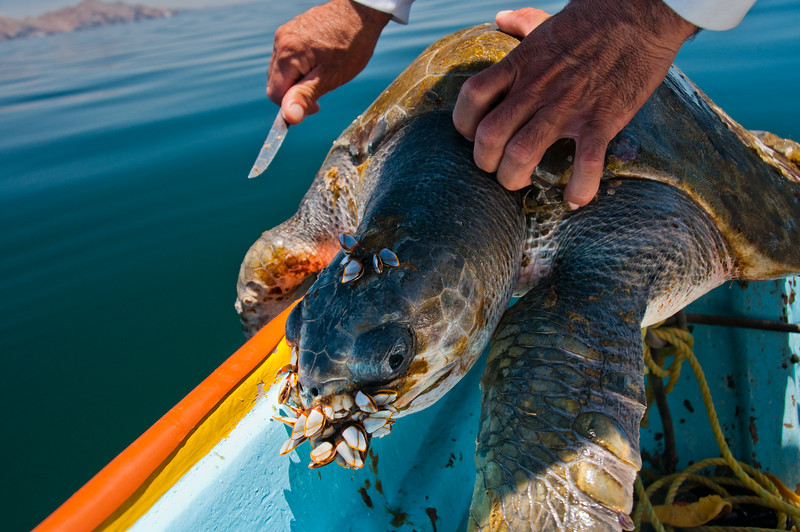 A sea turtle found floating lifelessly in the Gulf of California.  Upon inspection, barnacles were opstructing the turtle's nose and mouth.  A local fisherman removed what he could before releasing it.