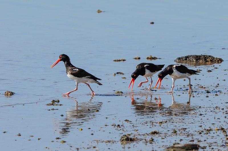 Foraging American oystercatchers on Isla Alcatraz
