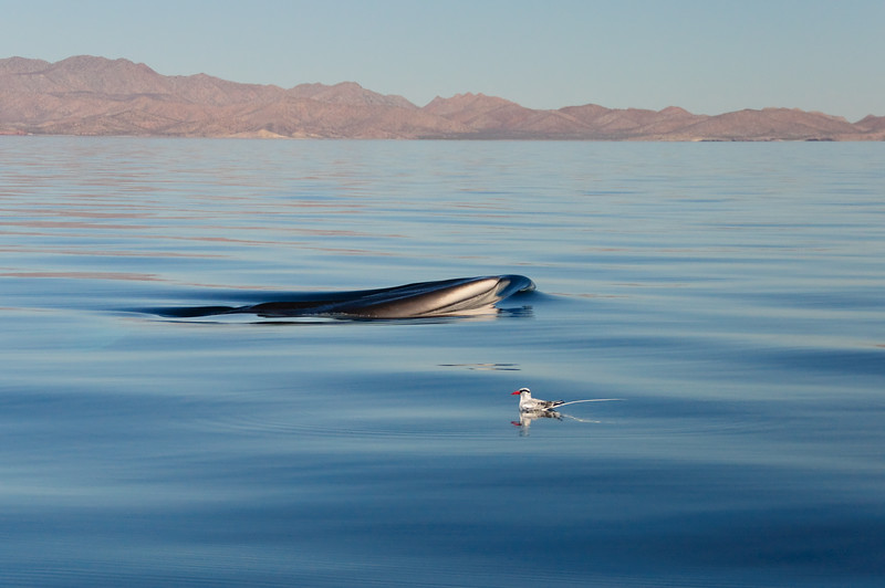 A fin whale surfaces alongside a red-billed tropicbird in from of Isla Tiburon in the Gulf of California