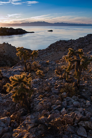 Teddy Bear Cholla (Opuntia bigelovii)  glow in the setting sun on the north end of Isla Salsipuedes in the Gulf of California, Mexico, with Baja California in the distance.