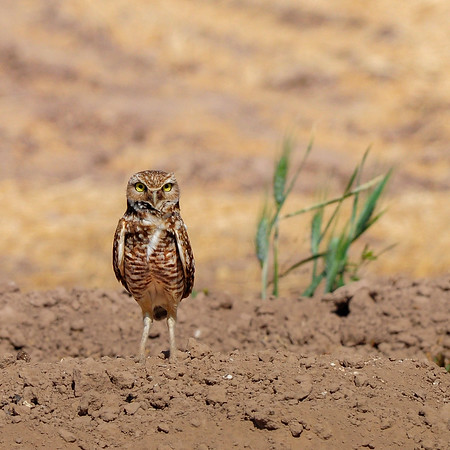 A burrowing owl outside its roadside burrow in Sonora