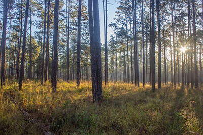 Blackwater River State Forest, when combined with Eglin Air Force Base and Conecuh National Forest, is the largest contiguous longleaf/wiregrass ecosystem on Earth.