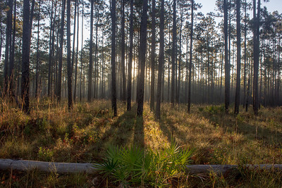 A Blackwater River State forest sunrise. Longleaf pine trees (Pinus pilustris) don't provide much shade in their understory, allowing for a host of flowering plants to flourish.