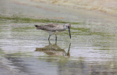 This Willet (Tringa semipalmata) is a large shorebird in the sandpiper family, and was found hunting for crabs in a tide pool near Watercolor, Florida.
