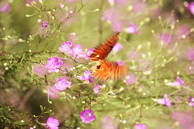A Gulf fritillary  (Agraulis vanillae) takes flight at Fort Pickens State Park near Pensacola Beach, Florida, creating a blissful blur of color.