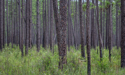 Whereas other forests are too dense to see through, well-manged longleaf pine forests like Blackwater River State Forest allow for an unencumbered view of its light-filled understory.