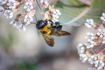A carpenter bee visits an endangered milkweed at the Naval Air Station in Pensacola, Florida.