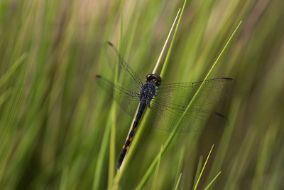 I photographed this Seaside dragonlet (Erythrodiplaz berenice) in a salt marsh in coastal Mississippi.