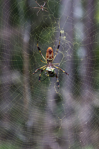 A female Golden orb weaver (Nephila clavipes) envelops a scarab beetle in its beautiful yellow web in Blackwater River State Forest. The much smaller male is pictured above.